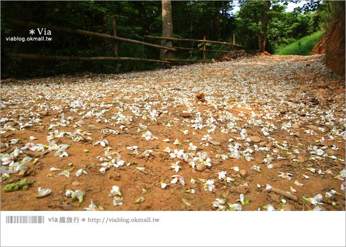 【彰化油桐花】福田桐花生態園區~雪白花毯!每年都會想再回訪的賞桐景點4