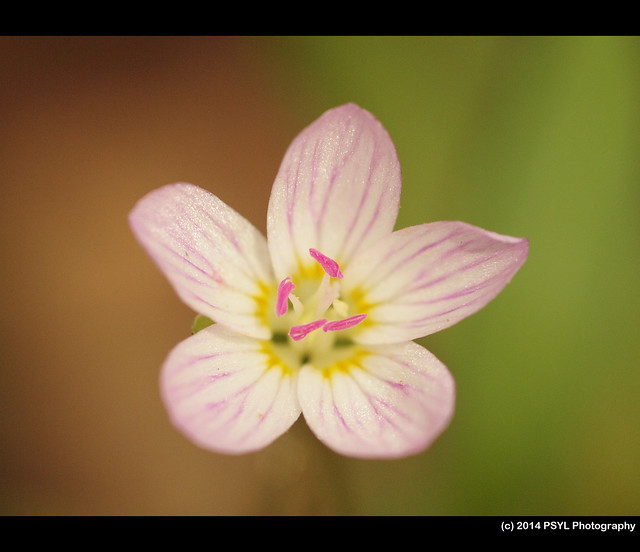 Spring beauty (Claytonia sp.)