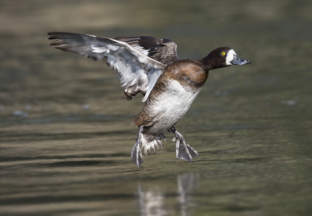 Gail - Greater Scaup