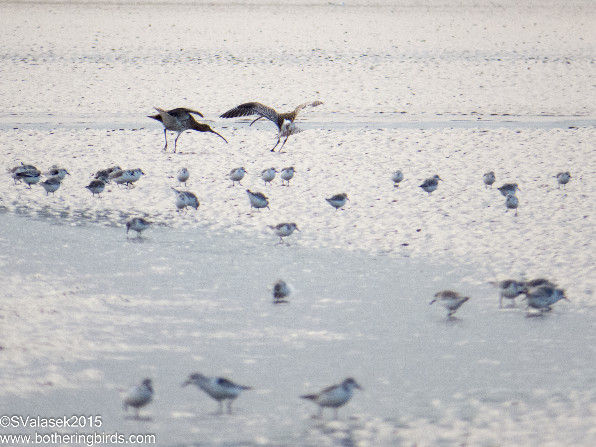 Curlew and Sanderlings