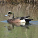 Small photo of American Wigeon Anas americana