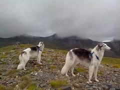animal, silken windhound, dog, whippet, sighthound, saluki, pet, mammal, borzoi,