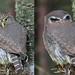 Northern Pygmy-Owl (Glaucidium gnoma) by Tony Varela Photography