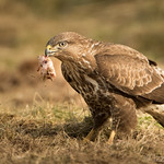 Buzzard feeding at Gigrin