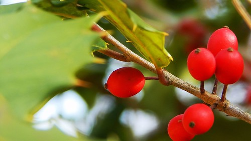 Sun-kissed Holly Berries