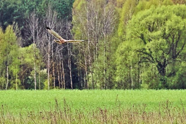 Marsh harrier (Błotniak stawowy)