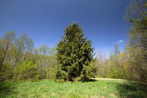 tree nature spring puu spruce loodus kevad kuusk kohtru