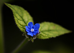 Blue flower winged