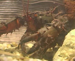 Video showing temnocephalan worms attached to a spiny mountain crayfish from Sydney _Video credit David Blair James Cook University