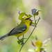 Blue Winged Warbler by Joe Branco