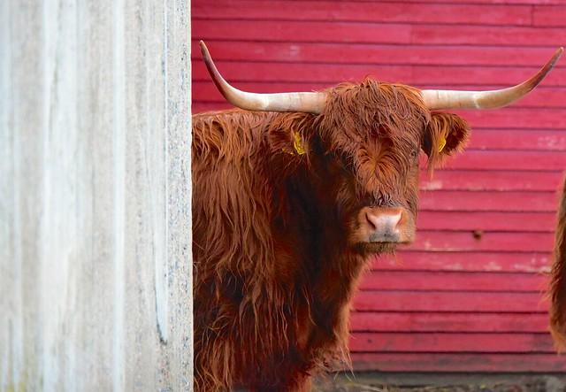 Cow - Lofoten - Norway