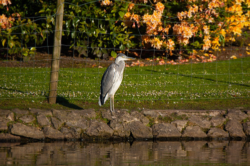 Young heron, West Park lake shore