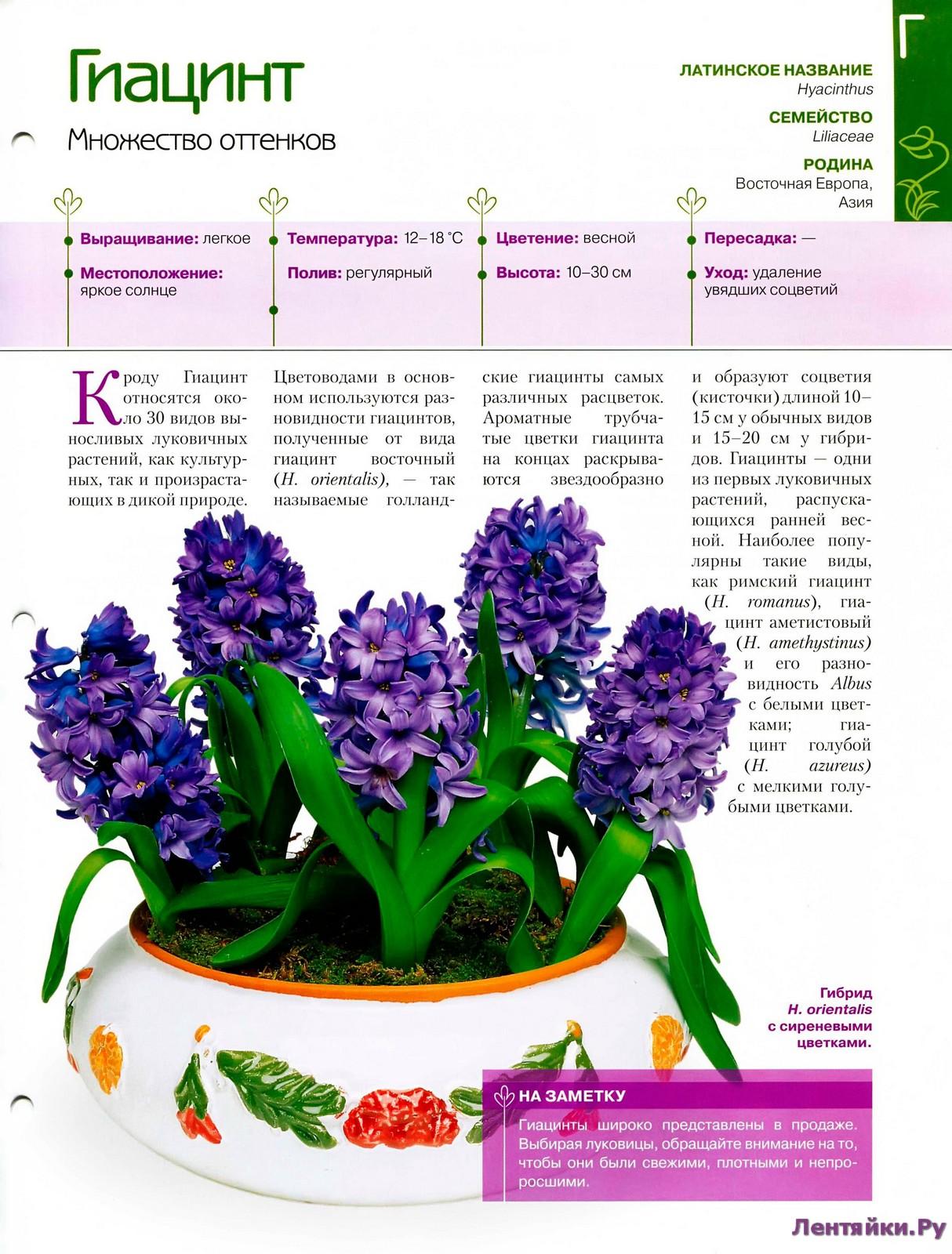 Выгонка луковичных растений 27487158266_cfa793166b_o