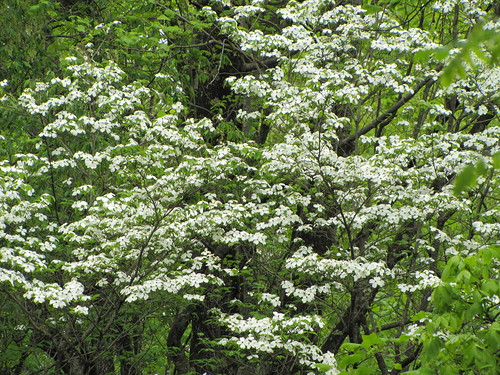 IMG_7419_Dogwood_on_Roaring_Forks_Motor_Nature_Trail