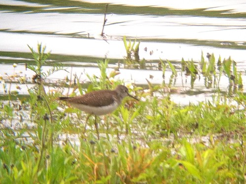 Solitary Sandpiper - Leaser Lake, Lehigh county