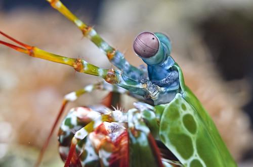 Peacock Mantis Shrimp 1 [EXPLORED]