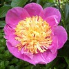 Paeonia lactiflora 'Henri Potin' looking lovely this morning in the Asian Valley.