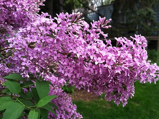 Old Lilacs