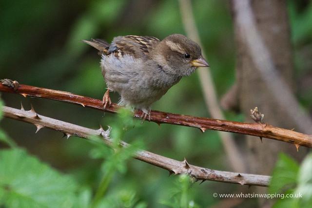 Baby house sparrow