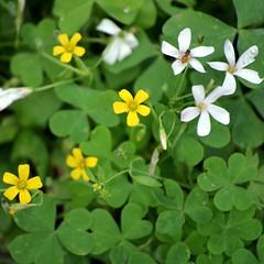 annual plant, flower, clover, plant, herb, wildflower,