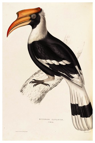 001-Bucerus Cavatus-A Century of Birds from the Himalaya Mountains-John Gould y Wm. Hart-1875-1888-Science Naturalis