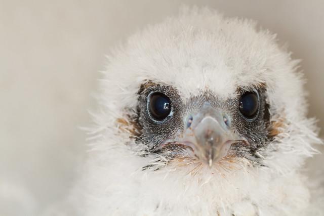 Peregrine falcon nestling