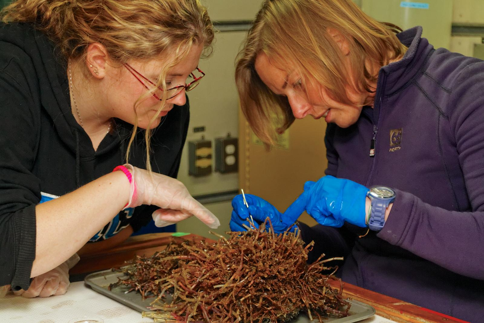 Clio Bonnett (ONC) assists Daphne Cuvellier (Ifremer) with the processing of a tubeworm cluster from the Endeavour Hydrothermal Vent Field. June 22, 2013. Photo by Ed McNichol.