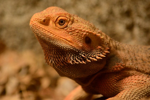 Bearded Dragon Tail Rot Home Remedies