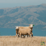 Sheep on the Hills Above Akaroa, New Zealand
