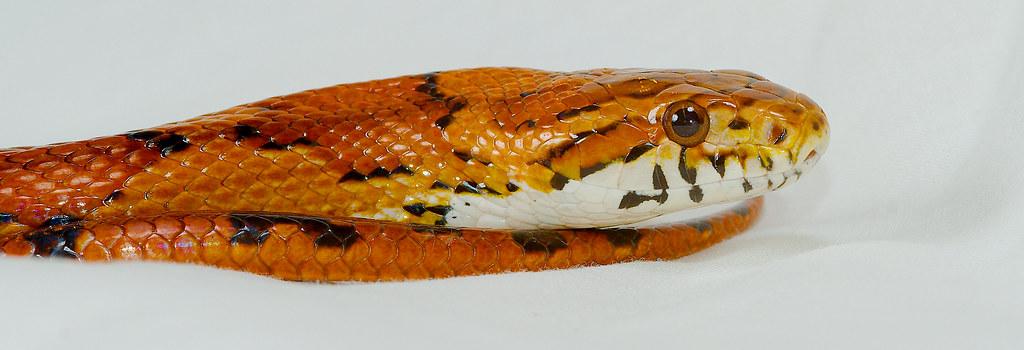 Red Cornsnake (Pantherophis guttatus)_14