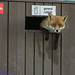 fox in a bin by Neil Phillips