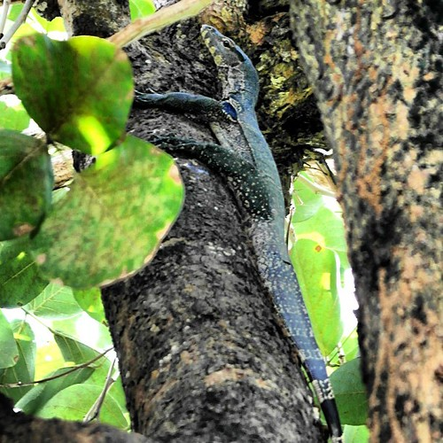 Look what I just found on my tree (after the dogs chased him there) #monitorlizard