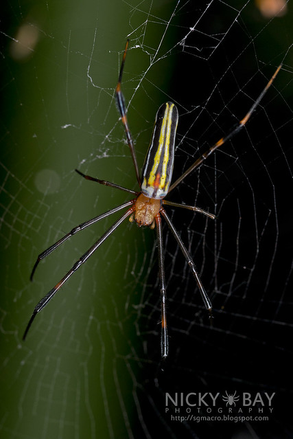 Golden Orb Weaver (Nephila sp.) - DSC_3010