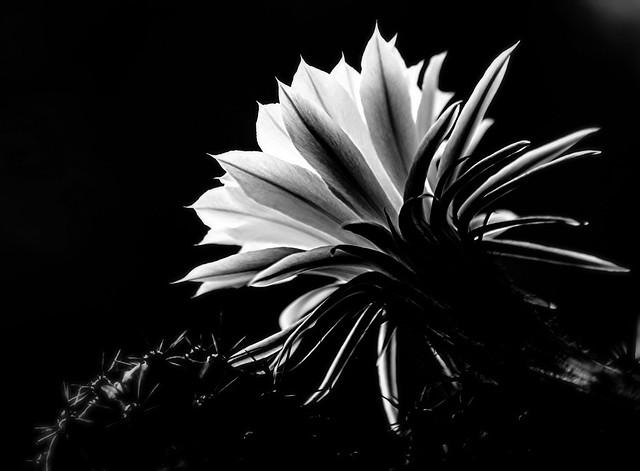 *cactus flower*