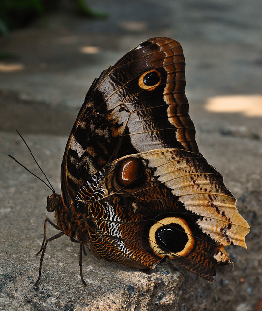 Butterflies Live (2)