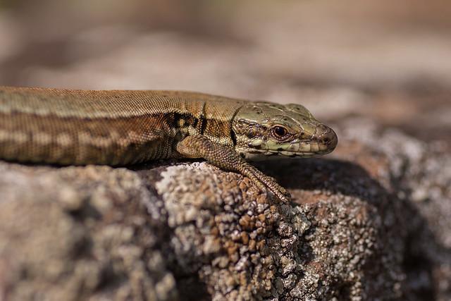 FV Flickr Top 5: Lizard