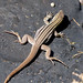 Small photo of SONORAN SPOTTED WHIPTAIL Aspidoscelis sonorae