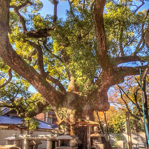 樹齢一千年の楠@杭全神社。