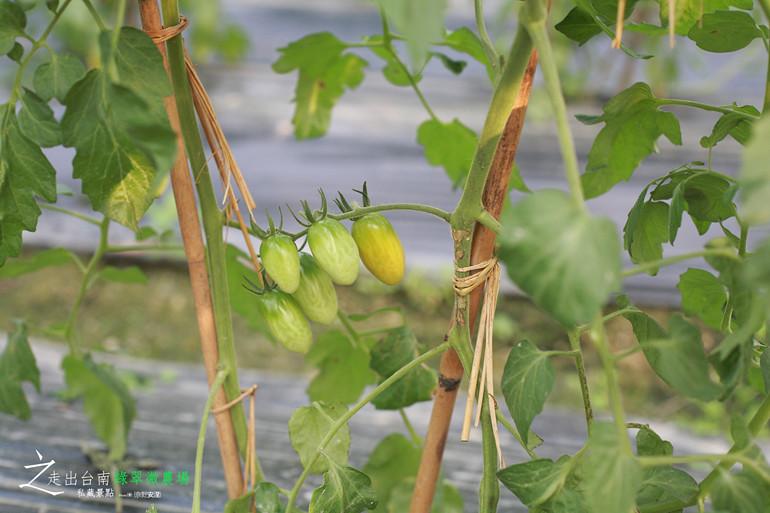 無毒小蕃茄 (4)
