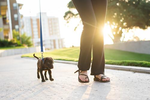 life dog sport sunrise puppy walking dallas lab texas unitedstates outdoor walk lifestyle addison active dearth udr