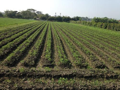 美濃農會春耕大豆,農民曾啟尚的大豆田。