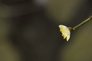 The flower of plum in Osaka castle No.1.