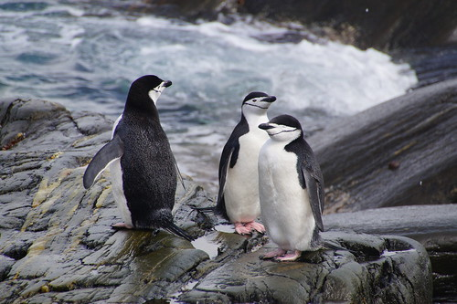112 Elephant Island - Point Lookout Kinbandpinguins