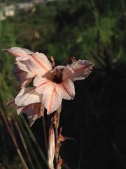 Gladiolus hollandii Shandon-1.jpg