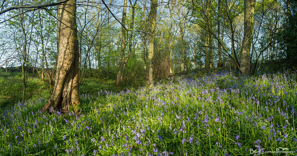 billy clapham sheffield bluebell wood  landscape