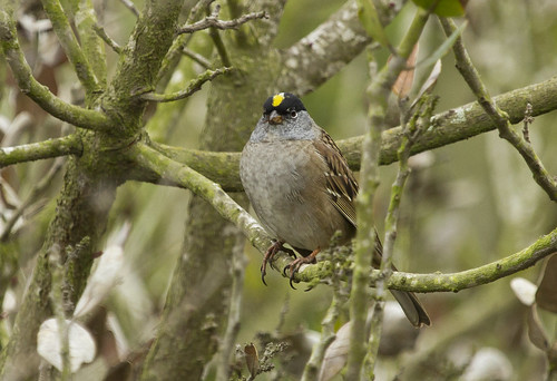 Golden-crowned Sparrow (alternate plumage)