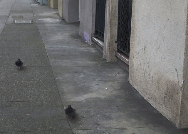 pigeons on Lincoln Way, San Francisco (2014)