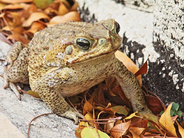 Cane Toad 20140416