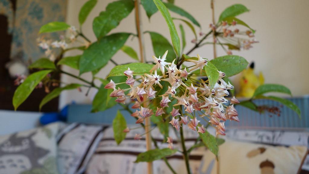 Hoya multiflora 'Milky Way' 16175974048_f2ef28256d_b