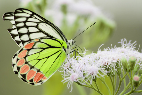 CommonButterfly